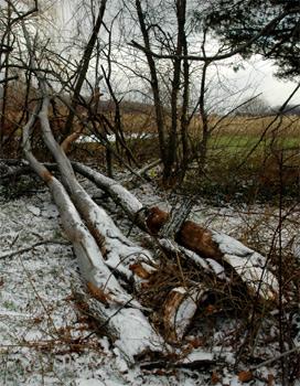 Fireflys Dead Elm Tree Fell in the Winds