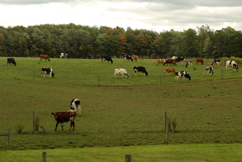 Cows in a field at the Amish Place near Fireflys Farm