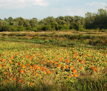 A field of pumpkins in Fireflys Western New York
