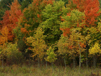 A stand of autumn trees in the Adirondack Mountains
