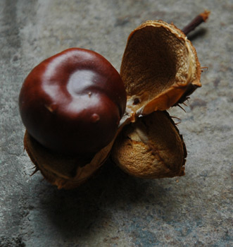 Fireflys Horse Chestnut and Pod