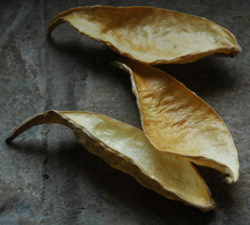 Milkweed Pods Firefly Gathered and Dried