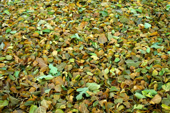 A carpet of beautiful autumn leaves under Fireflys mulberry tree