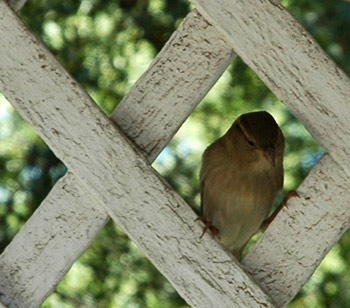 A sweet little birdie in Colonial Williamsburg