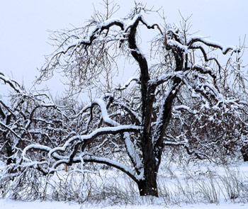 A snow covered apple tree near fireflys farm in Western New York