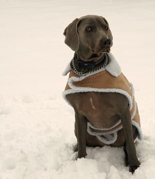 Blu sits for a photo op at fireflys farm showing off his new coat