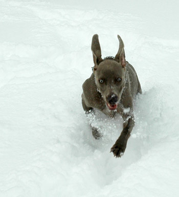 Blu works hard at traveling through the big snow