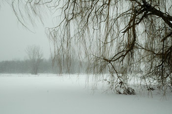 Fireflys willow tree during last big snow storm of the year