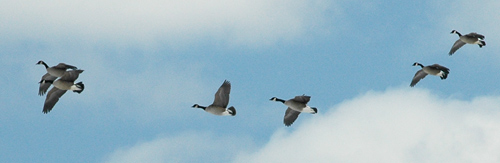 Geese arriving at fireflys farm