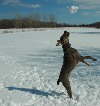 Blu enjoys a snowball fight on fireflys farm on a late winter morning