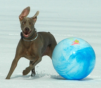 Blu plays with his snow romping ball on fireflys farm one late winter morning