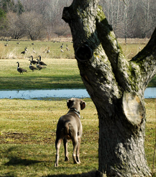 Blu begins to notice the geese