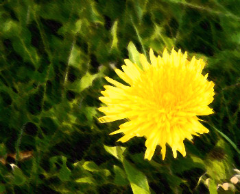 A pretty dandelion in Fireflys yard on the farm