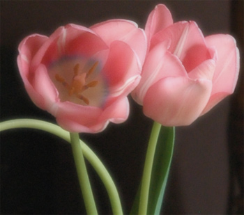 Pink tulips from fireflys cottage