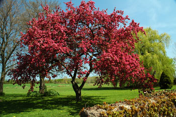 A full view of the flowering crab apple tree at fireflys farm