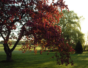 Fireflys crab apple tree in golden morning light