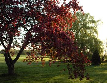 Fireflys crab apple tree in golden morning light