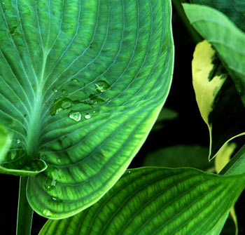 More close up hosta leaves after the rain on fireflys farm