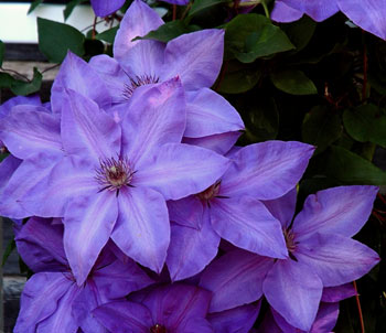 A lovely clematis growing out by fireflys barn