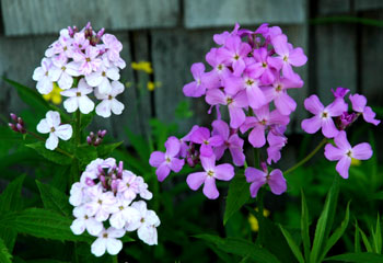 Pretty little phlox flowers growing by fireflys barn