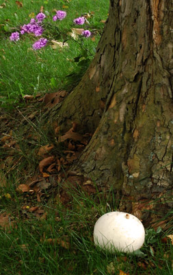 A Wild Puff Ball Mushroom Growing in our Front Yard
