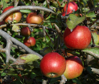 11nov08_apples