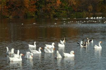 11nov08_geese