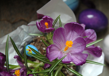 21apr_crocus