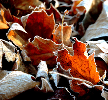 frostyleaves1
