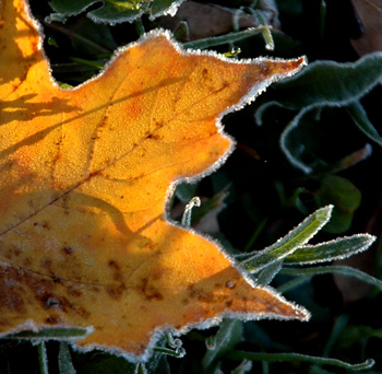 frostyleaves4